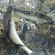 広瀬川は釣れています!