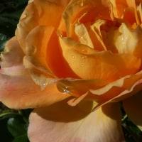 『秋の薔薇』 万葉