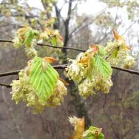 ブナ科樹木 花