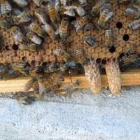 ミツバチの巣箱に王台が出来ていたので巣箱を分割しました