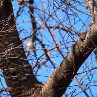 日曜散歩:ブロッコリーとジョウビタキ(野鳥)