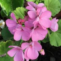 優しいピンク色のゼラニューム