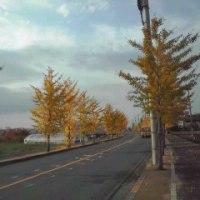 第十五段~黄色に色づく銀杏並木で一句~