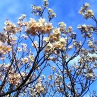 咲き始めました運動公園のサクラ