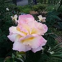 1829話 「桃花」という名のバラ