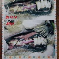 4回目の無麻酔歯石除去