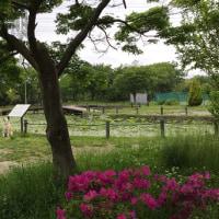 しらさぎ公園の大賀ハスは立葉があらわれました!