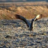 迷鳥のアネハヅル ①