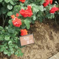 伊奈町制施行記念公園・バラ祭り