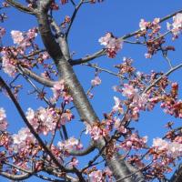早咲き桜が開花