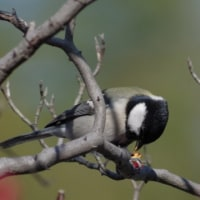 フリー素材 : 野鳥 ・ 翡翠  於大公園のシジュウカラ