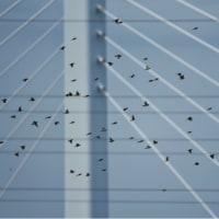 21/Oct  月とオリオン座と橋のムクドリとホバリングするカワセミ