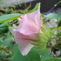 棉の実の開花