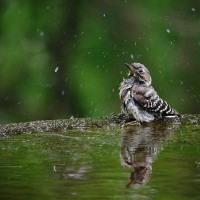 170516_弘法山公園-5 <小啄木鳥/目白>