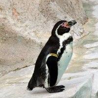 フンボルトペンギン「フンボルト海流」