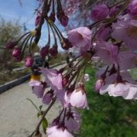 春ツー 喜多方・日中線記念 しだれ桜