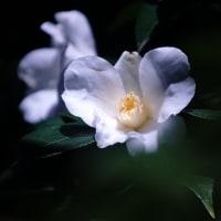 藪椿 (ワビスケ) (花 4192)