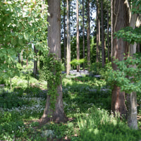 満開のミヤコワスレが見事です!! 黒姫高原の杉林の中・・・6月20日