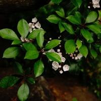 カルミア (花 4466)