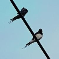 今日の鳥見:ギンムクドリとツバメ