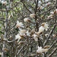 楽書き雑記「花の主役はハクモクレンやシデコブシに=名古屋市農業センター」