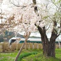 100年桜と0年リバティ