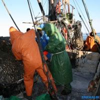東サハリン沿岸のコマイ生産が約1,000トンに達する
