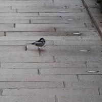 主計町。今日は人通りが少ないので、自由に歩き回っている小鳥。
