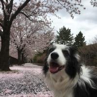 桜 見納め(*´Д`*)