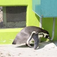 働くペンギン・フンボルト