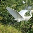 佐賀の青鷺と白鷺.その4