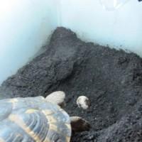 今年初の産卵はニシヘルマンリクガメ