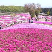 壮観な芝桜