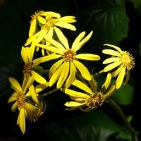 初冬の季語・石蕗(ツワブキ)の黄色い花が咲いていました