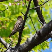 4月23日の鳥撮り散歩・・・