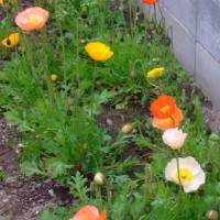ポピーなど出会った花たち
