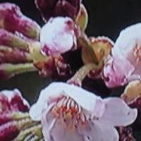 桜〜開花宣言
