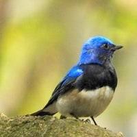 今日の野鳥、オオルリ (♂ ・ ♀)  ・・・ 。