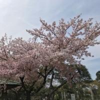 春の嵐・最後のお花見