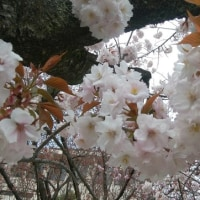今年最後の桜・・そして今年もやります、お着物doll!