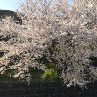八王子の桜