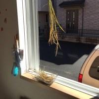 黒米のバケツ稲  ついに収穫っ❗️