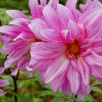 『季節の花』 ダリア