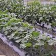 菜園の野菜達は元気に育ってますよ・・・