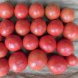 障がい者支援・トマト2回目の収穫