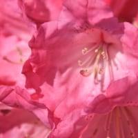 濃いピンク色のシャクナゲ