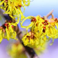 春告げ花 蝋梅 マンサクの花