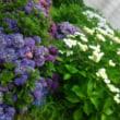 紫陽花の季節に誕生してから