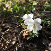 蕾だったり、咲いていたり。ヒゴスミレ