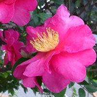 マンションのサザンカの花